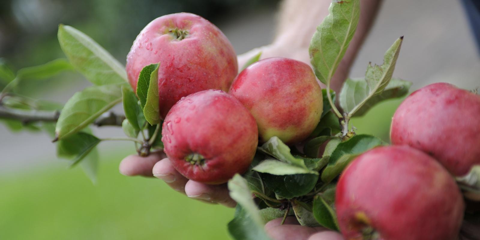 äpfel geschmack sorten